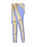 bone29